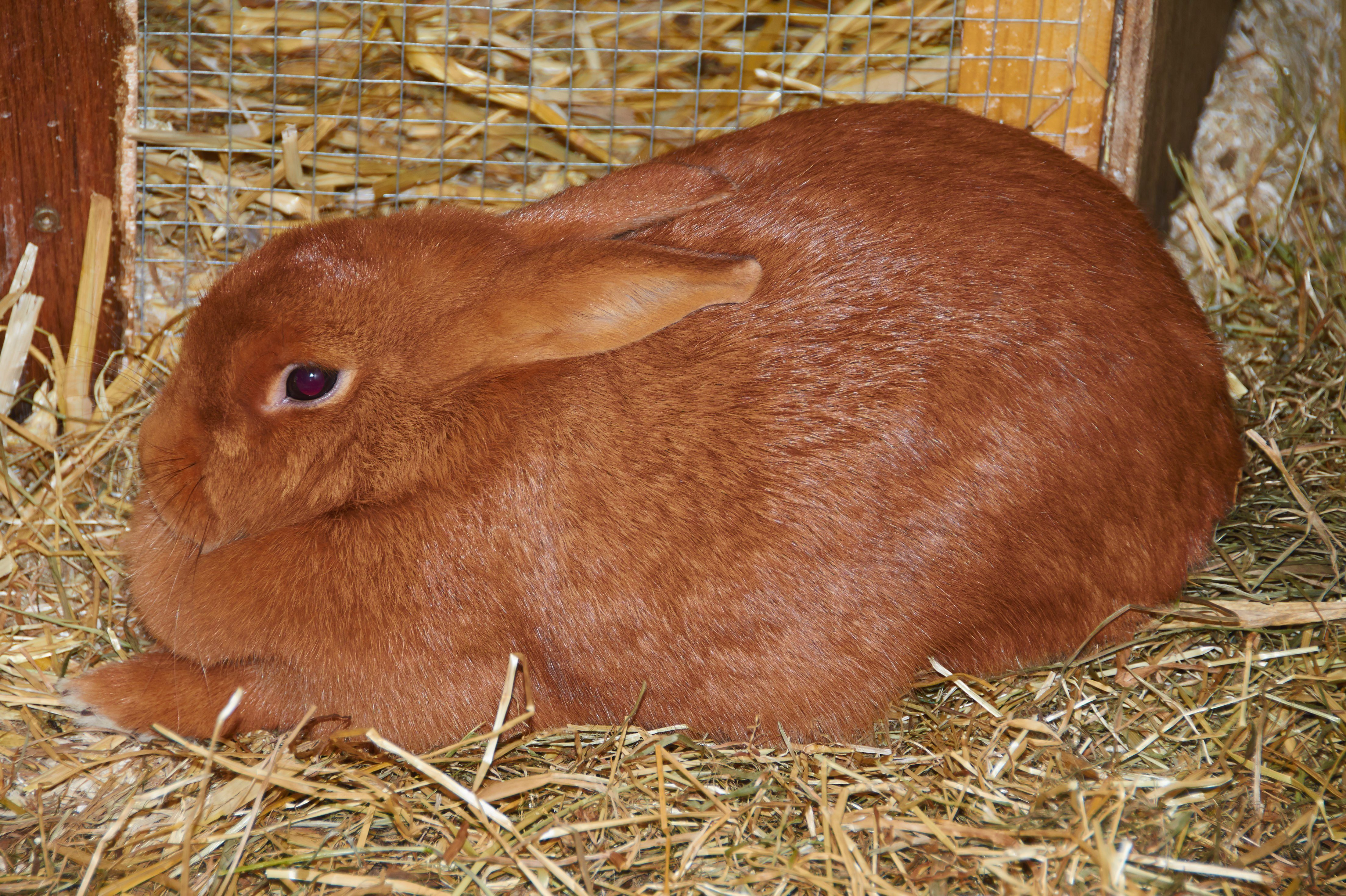 Portrait of a young Dutch giant rabbit.