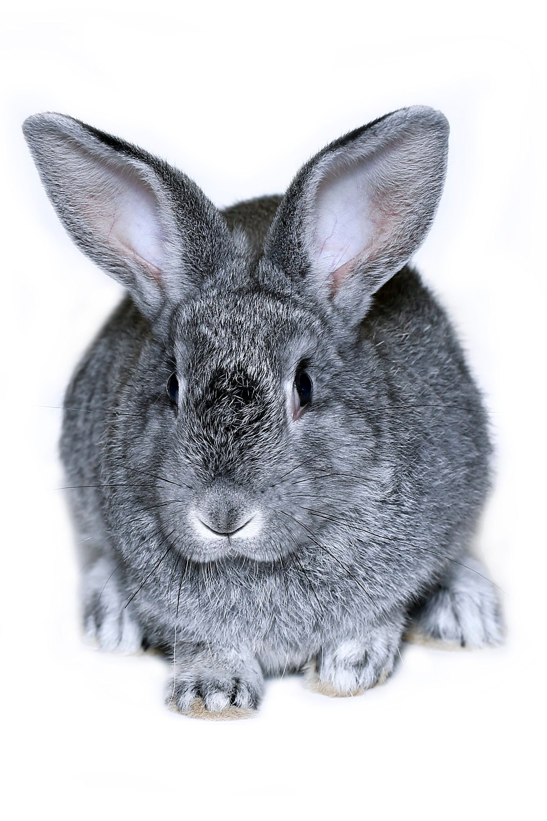 Little rabbit breed of gray silver chinchilla