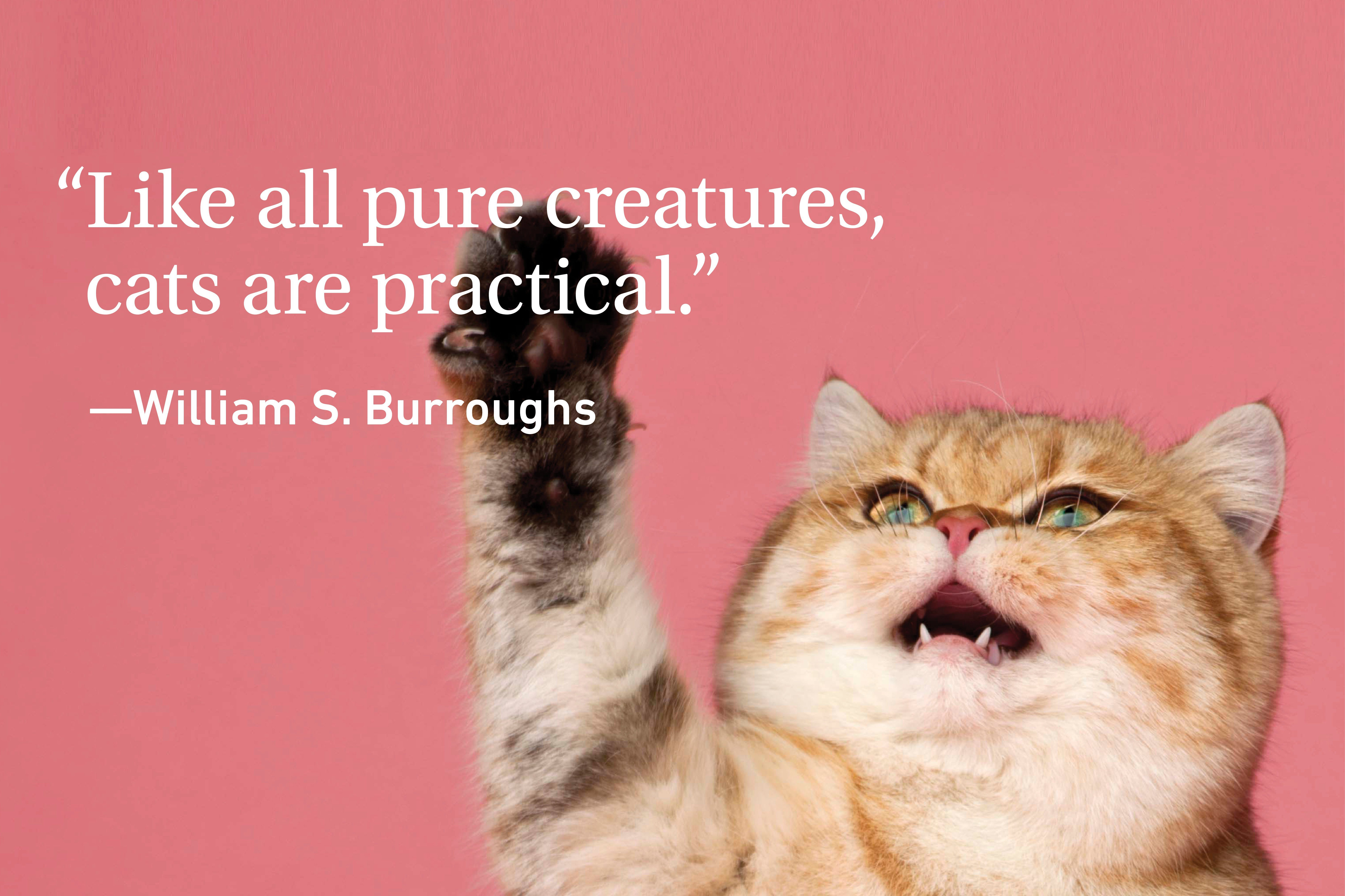 Cat Quote on a pink background with a growling cat