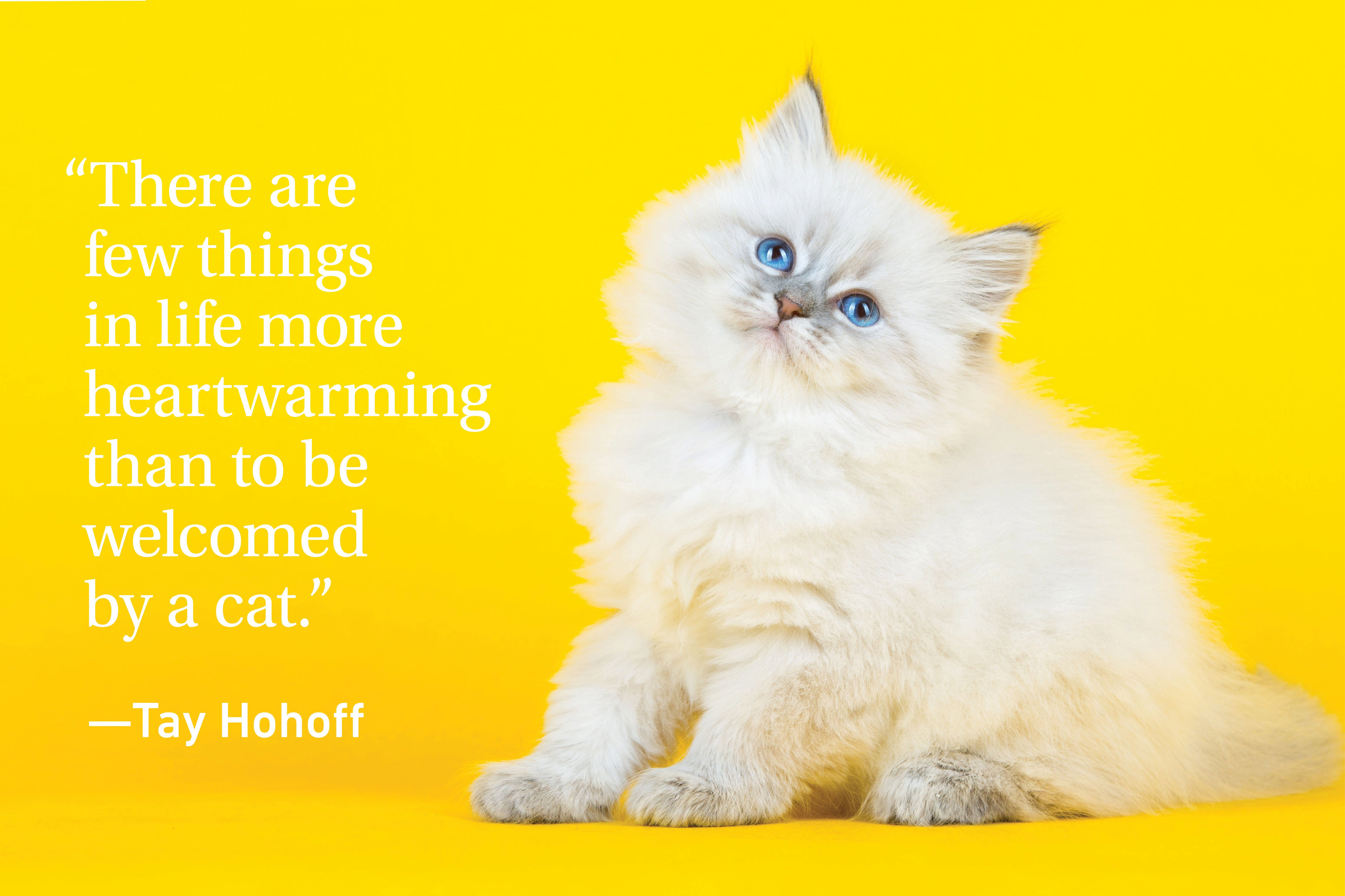 Kitten admiring on a yellow background with a quote