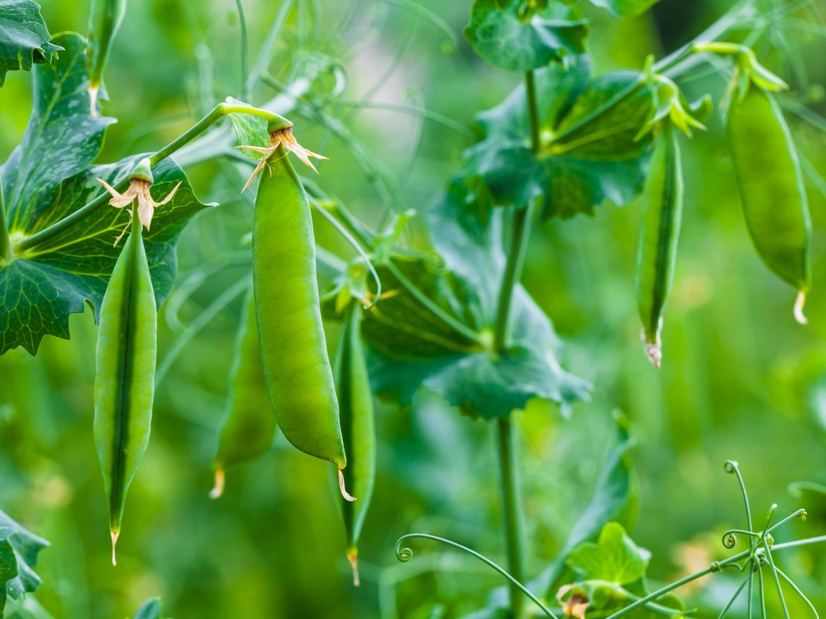 Growing peas in garden