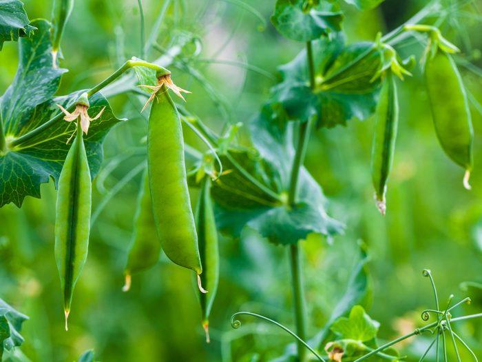 Growing peas in garden