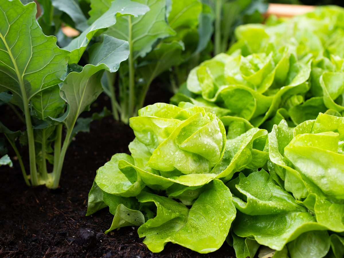 Growing lettuce in raised garden bed