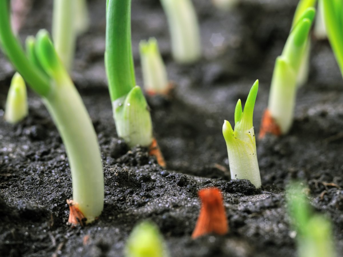 Growing onions in a vegetable garden