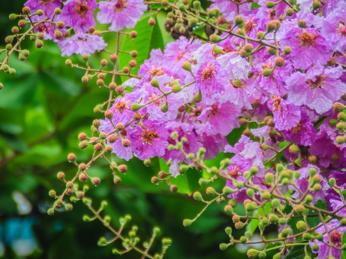 Banaba leaf flower