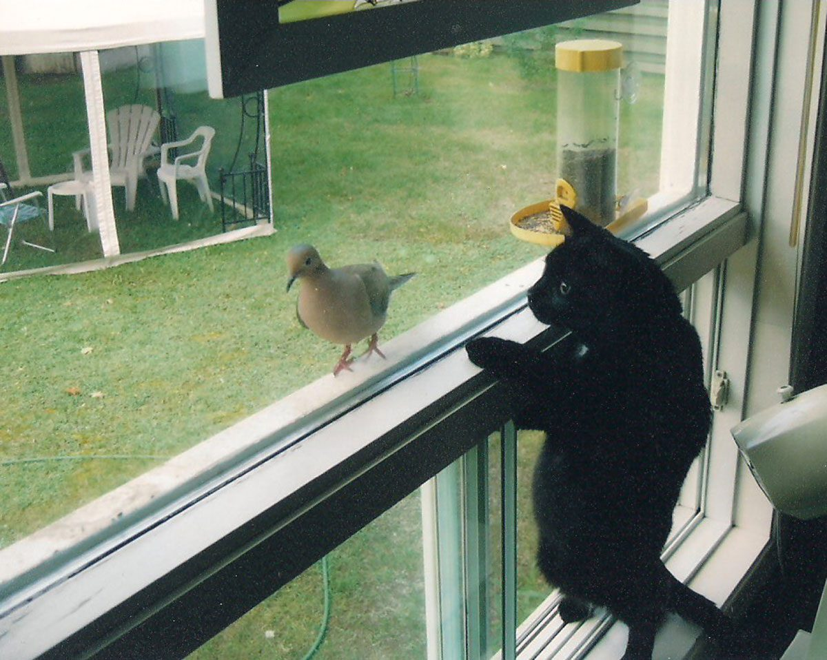 Black cat watching bird through window