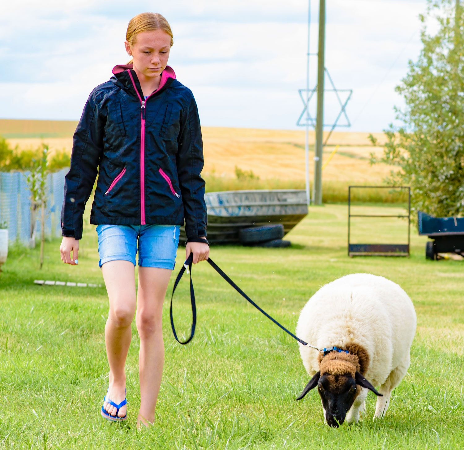 Little girl walking her pet sheep around family property