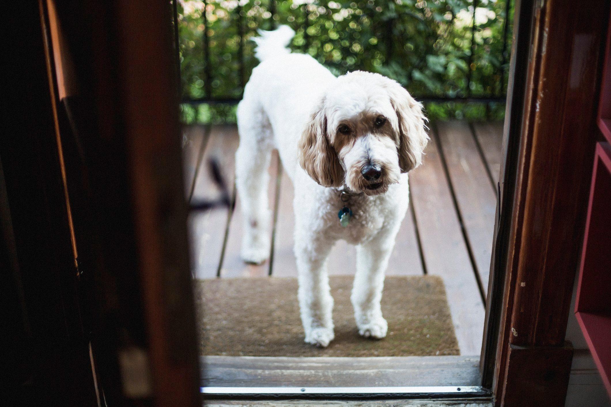 Golden doodle dog in front of an open front door