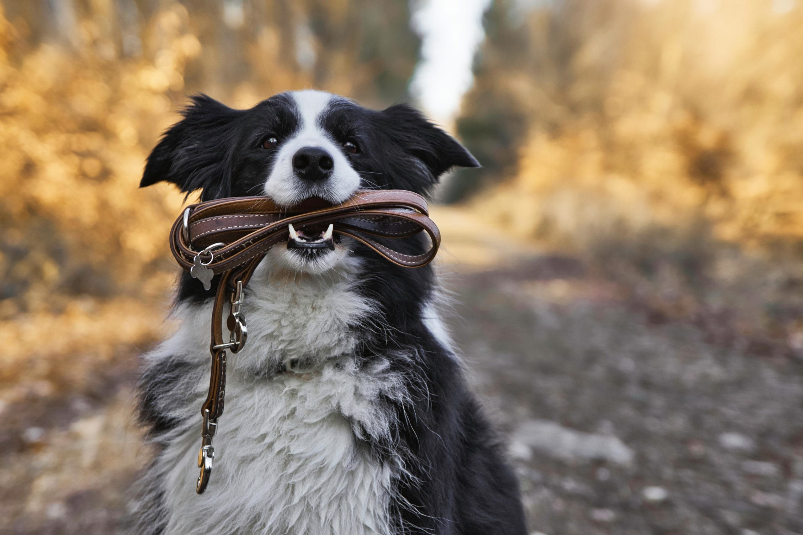 Dog with its leash in its mouth