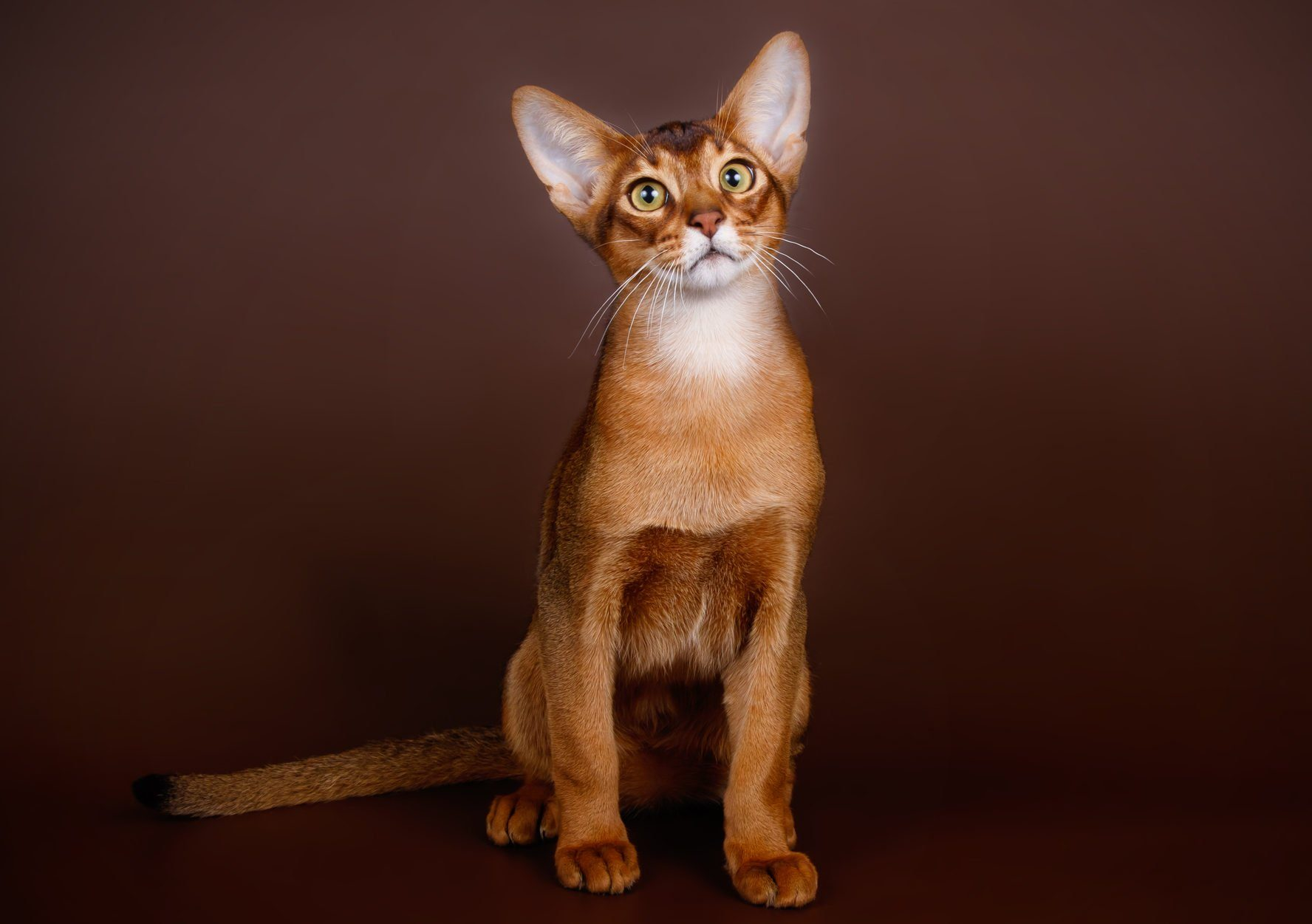 Abyssinian cat on colored backgrounds