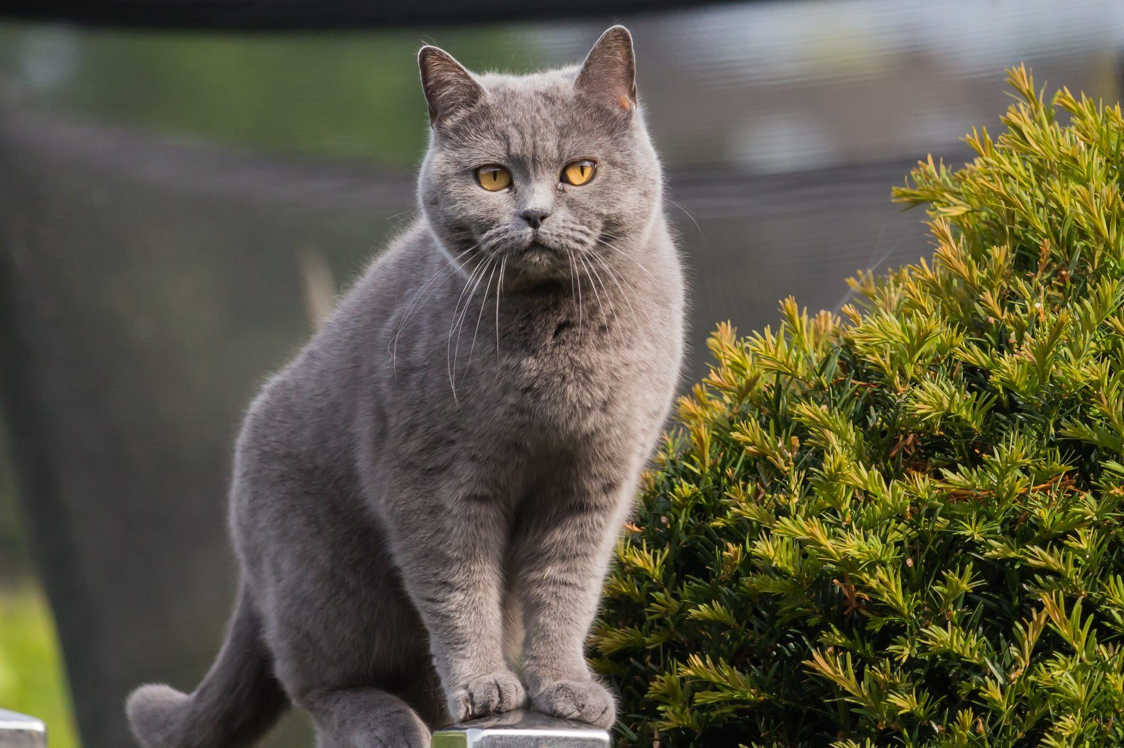 Pretty british shorthair cat standing on a post of the garden fence.
