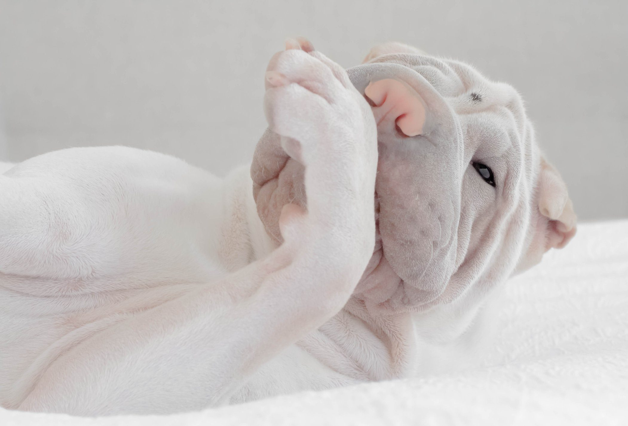 Shar-pei puppy dog licking his paw