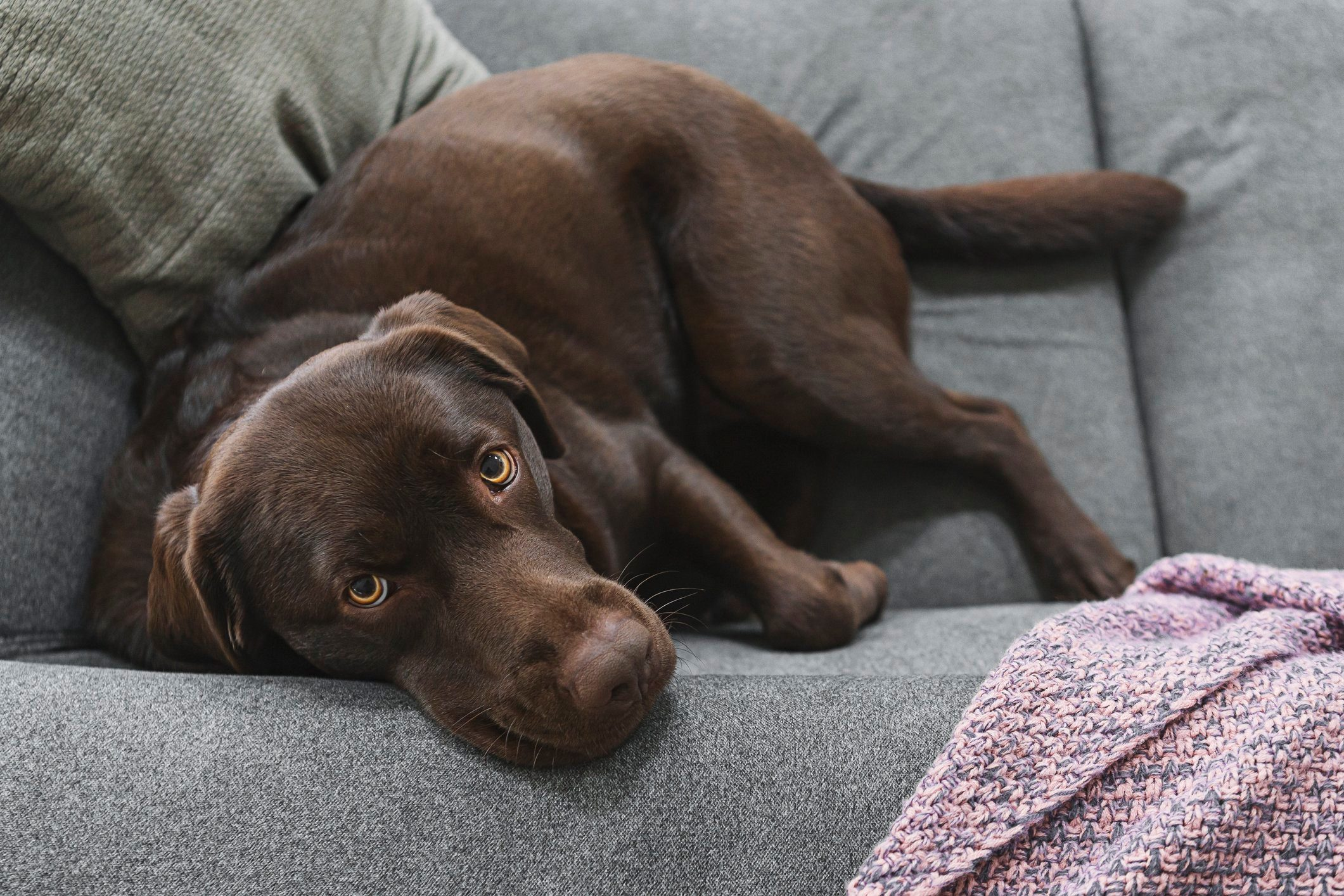 Chocolate labrador looking up to camera