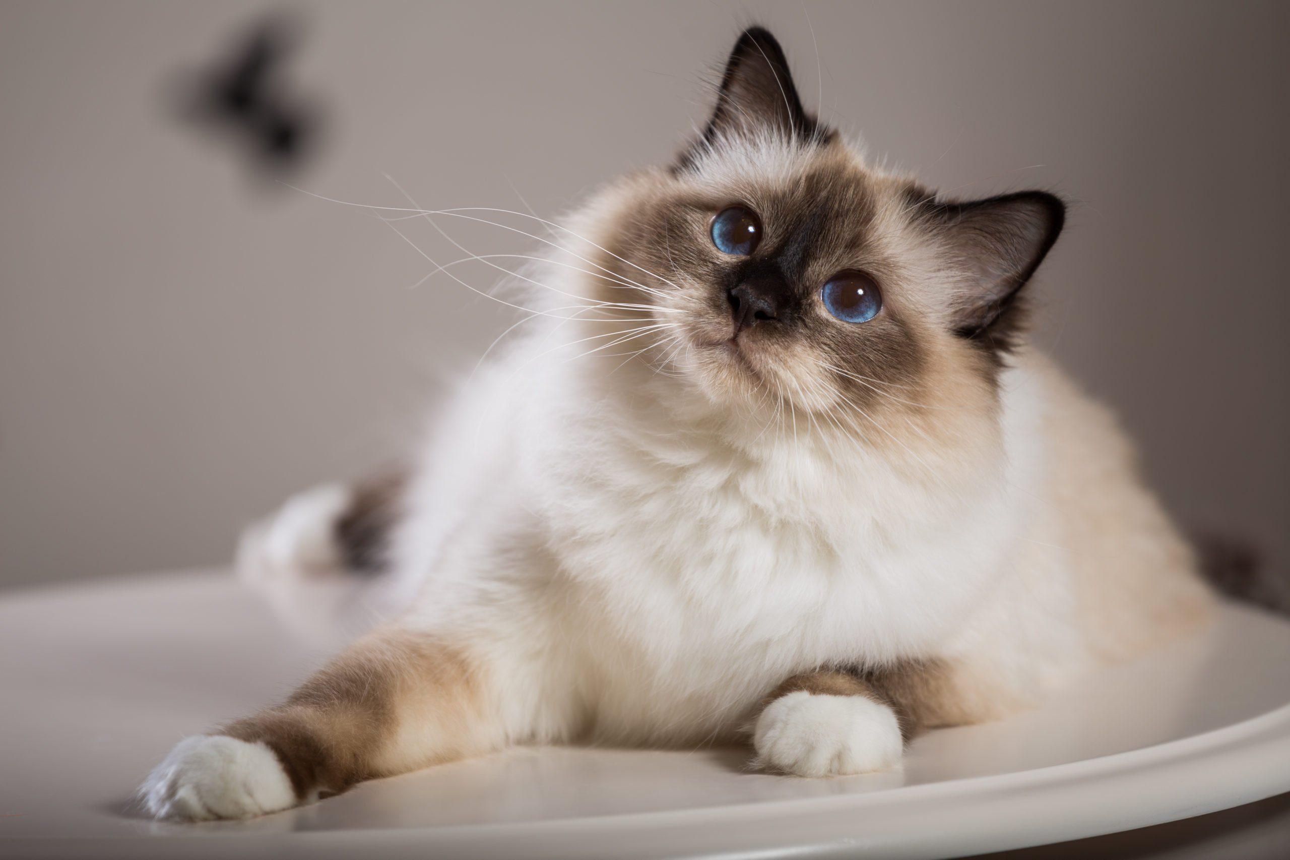 sacred birma cat in interior