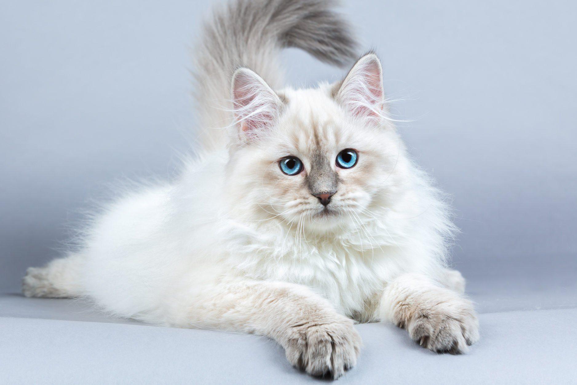 Portrait of Siberian kitten, studio shoot