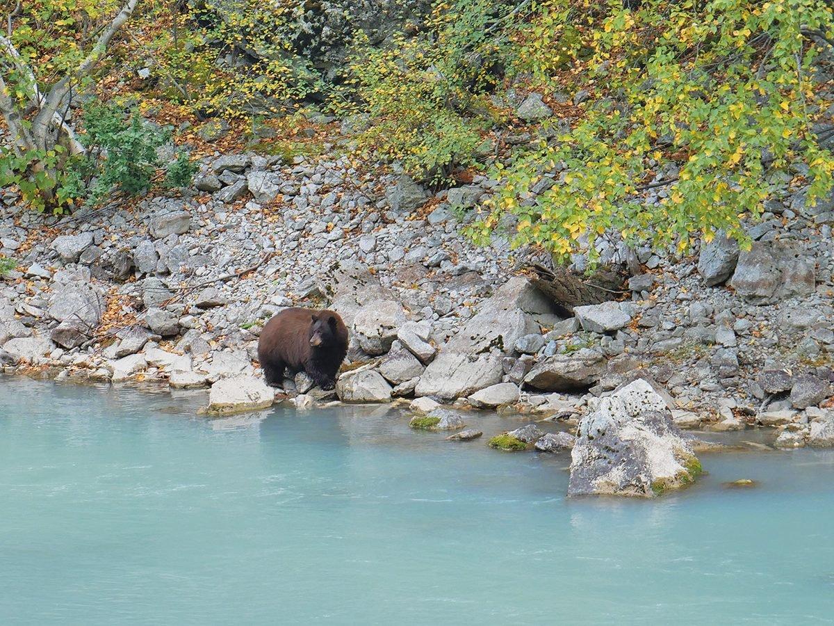 Black bear on the Hurley River, B.C.