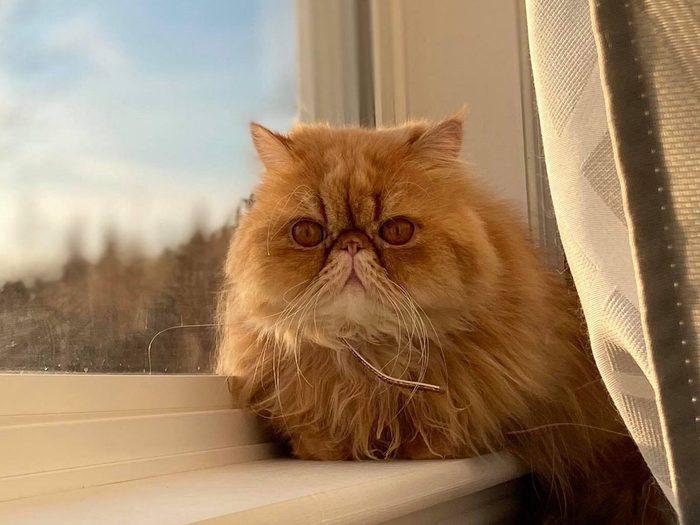 Persian cat on a windowsill