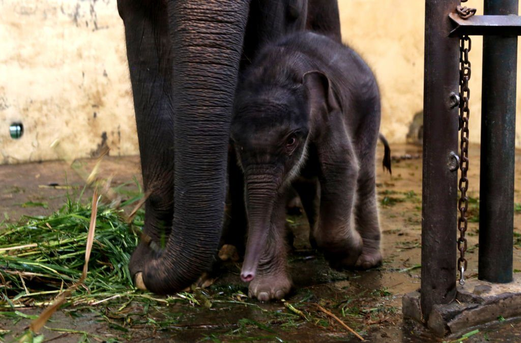 Elephant cub named COVID in Indonesia