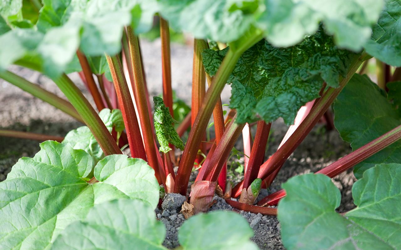 Bright red organic rhubarb stalks shooting from the vegetable garden.