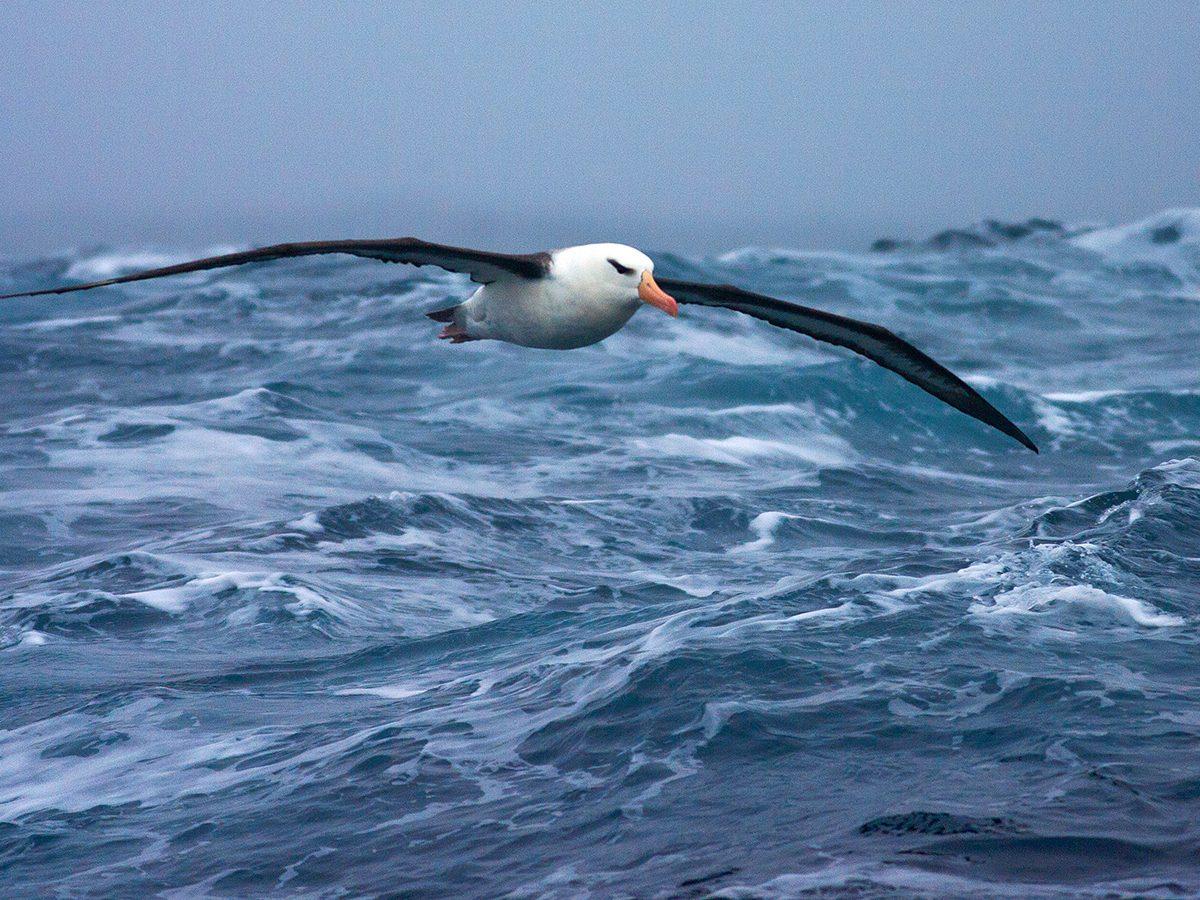 Good news - Albatross in flight