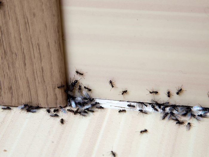 House bugs - ants in house