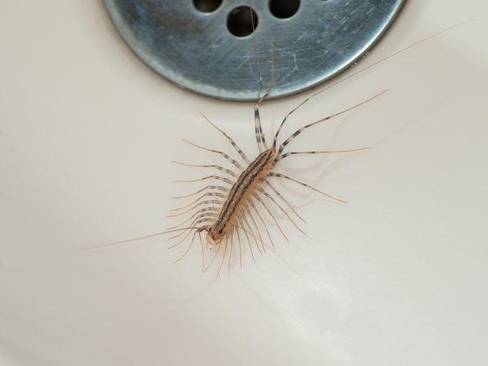 House bugs - house centipede