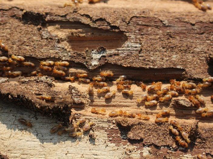 House bugs - termites