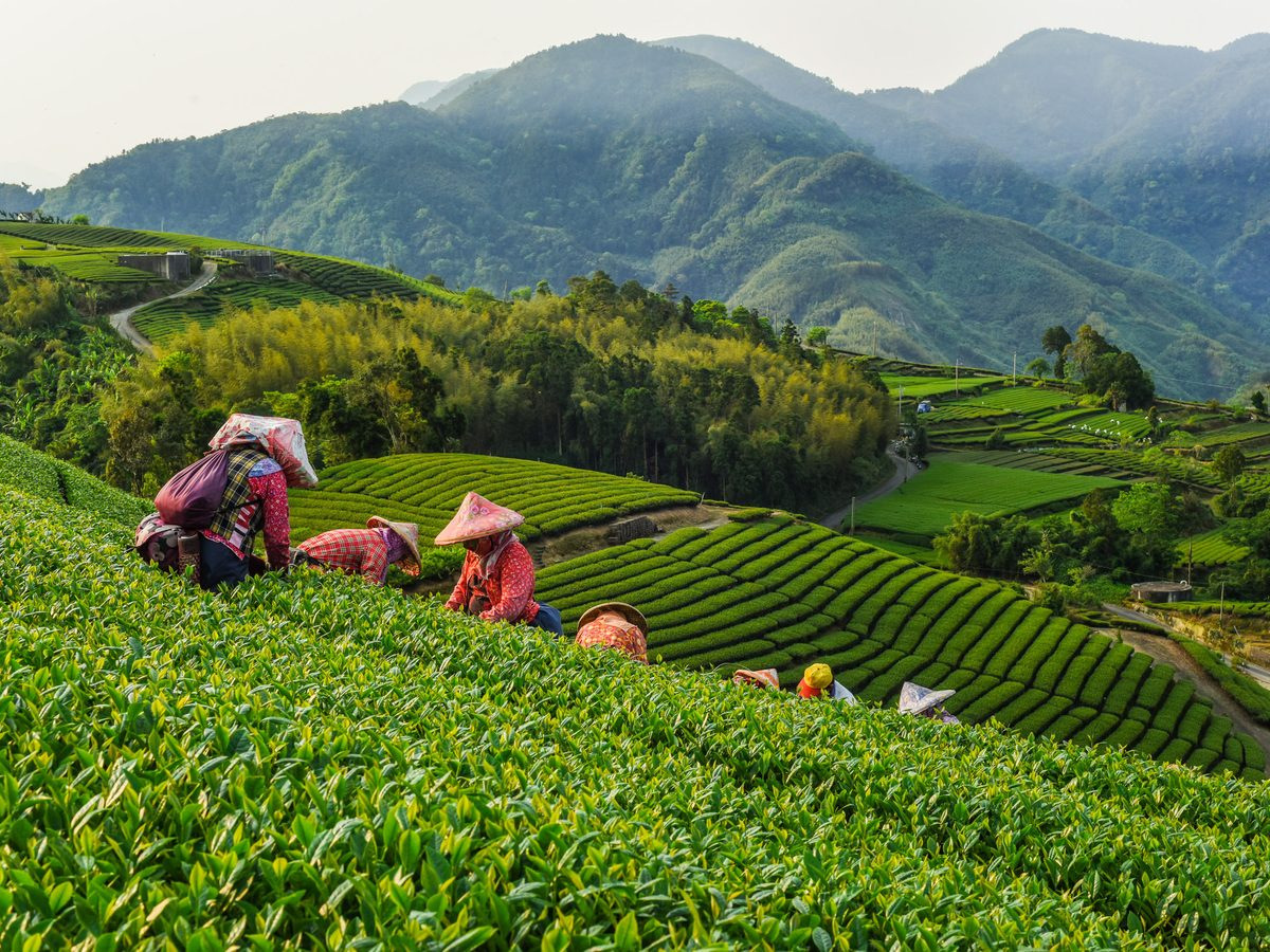 Oolong tea field in China