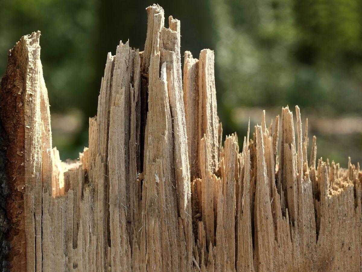 Splinters from a tree stump