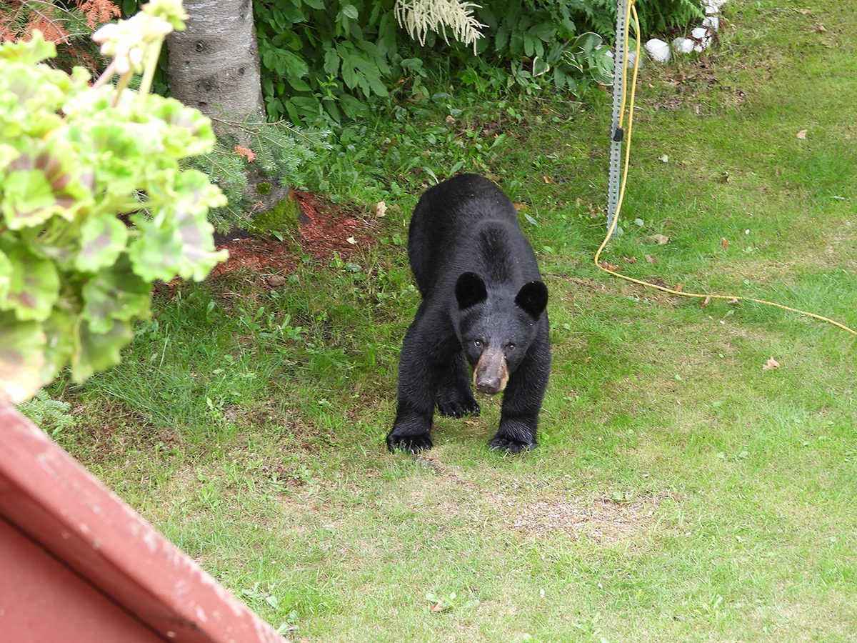 in the backyard photography - black bear