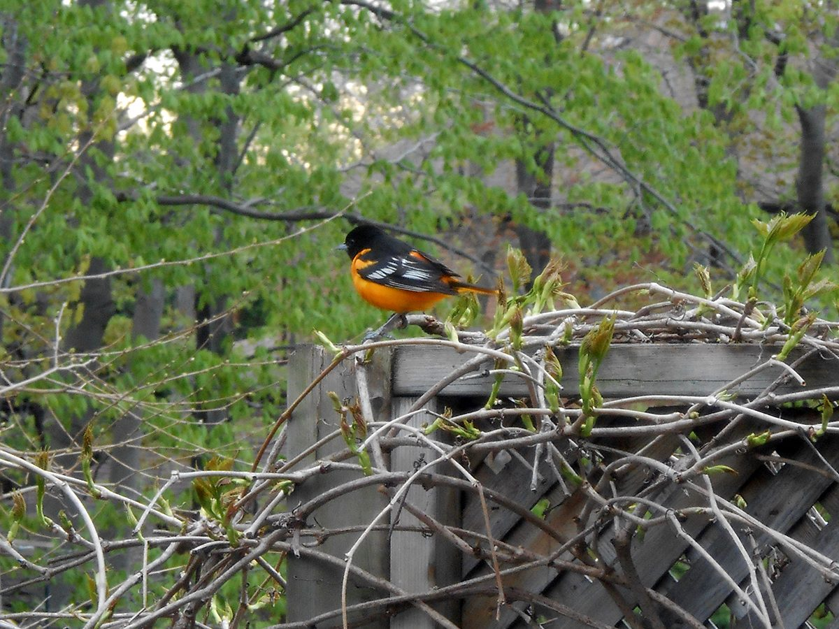In the backyard photography - oriole