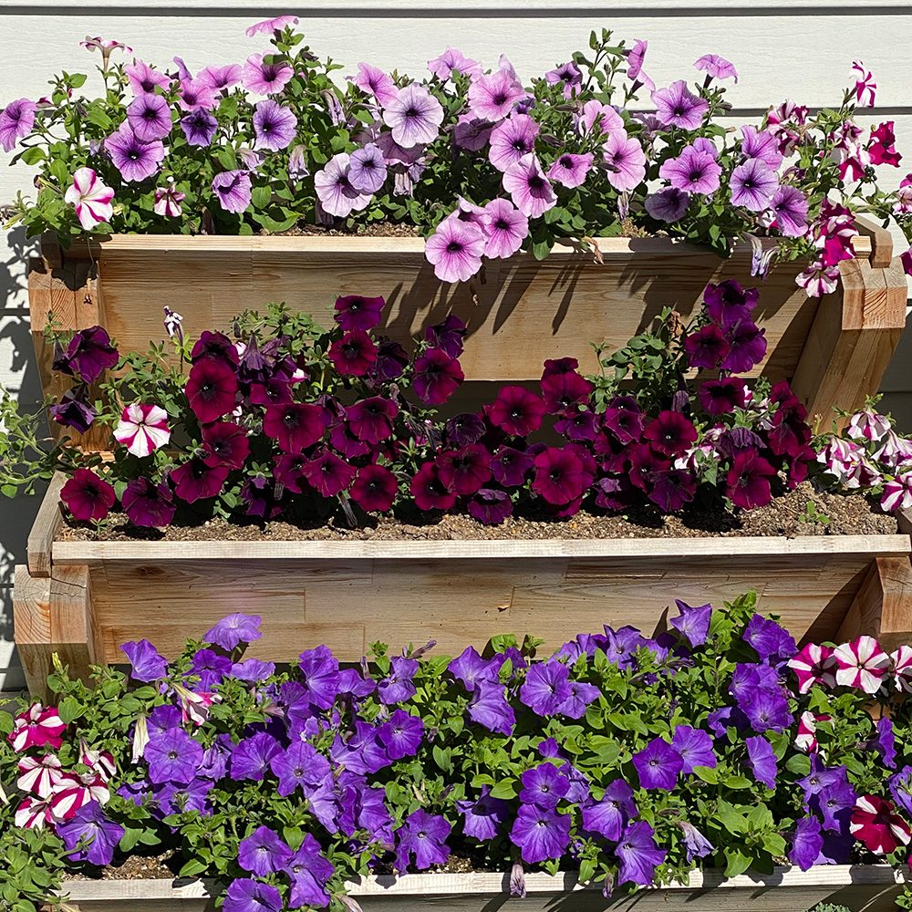 In the backyard photography - purple petunias stacked planters