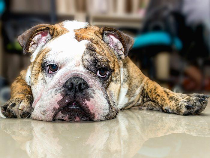 Best apartment dogs - English bulldog