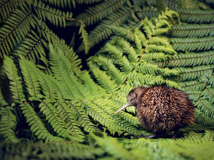 Kiwi Bird on ferns