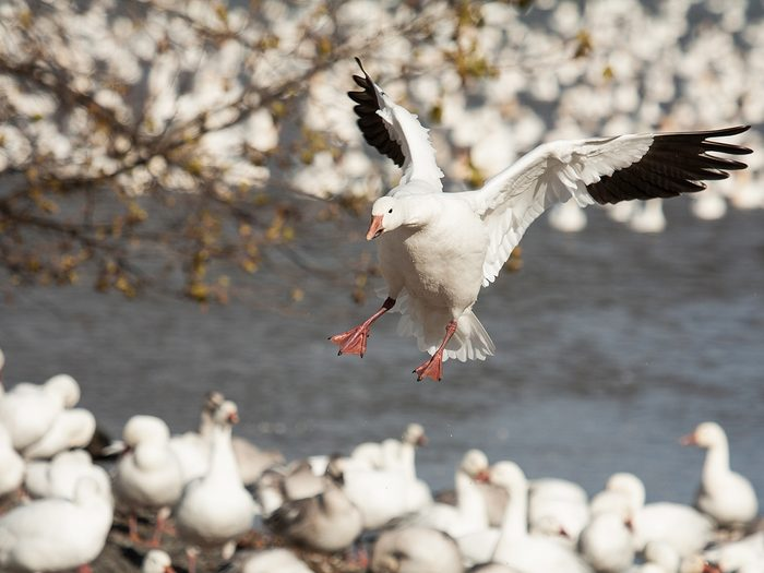 Ladner BC - snow geese migration