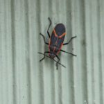 What Are the Red and Black Bugs on My House?