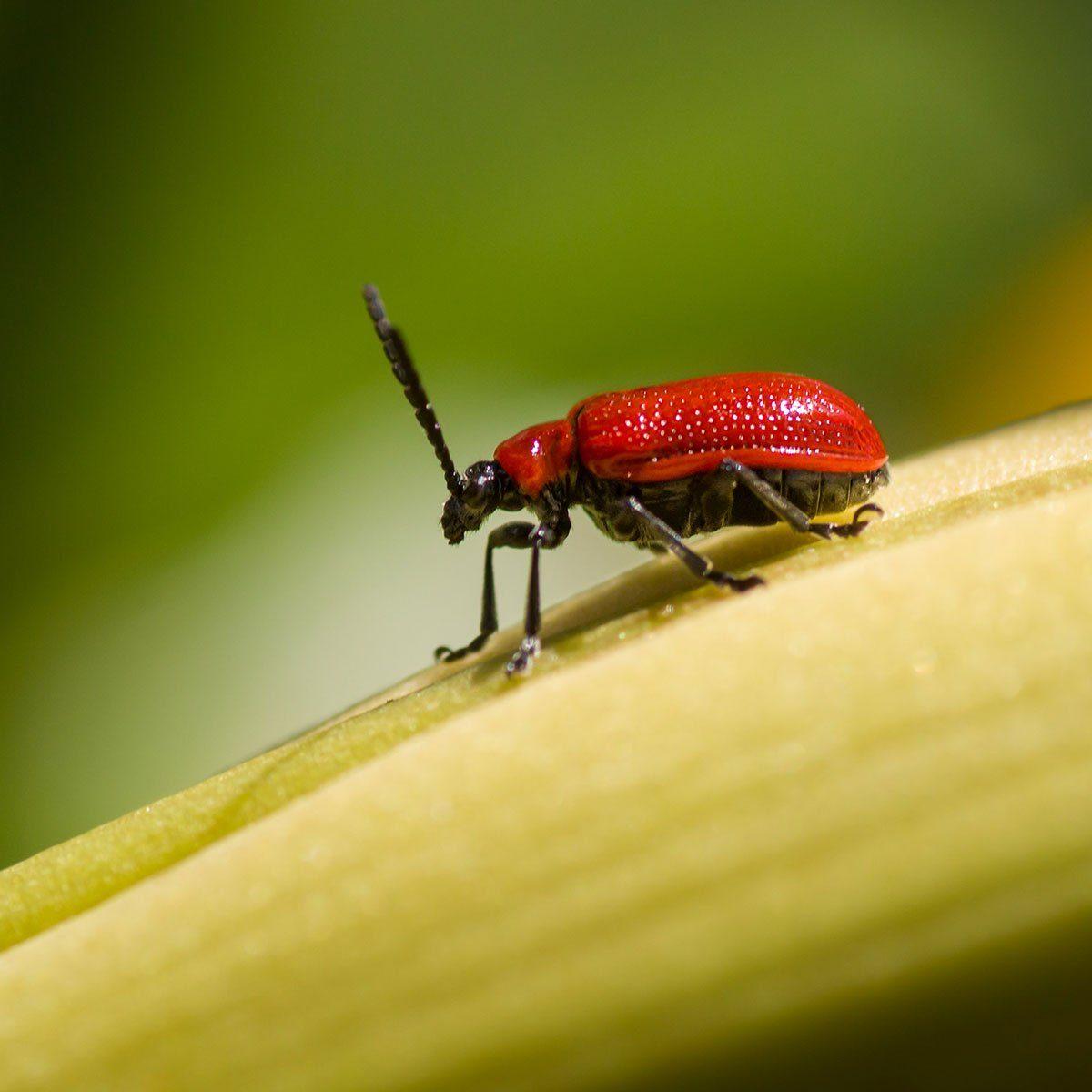 Scarlet lily leaf beetle