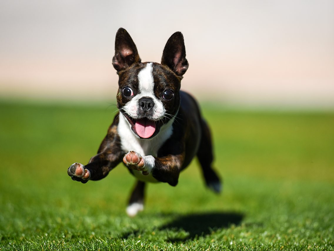 Dog breed based on your zodiac - boston terrier