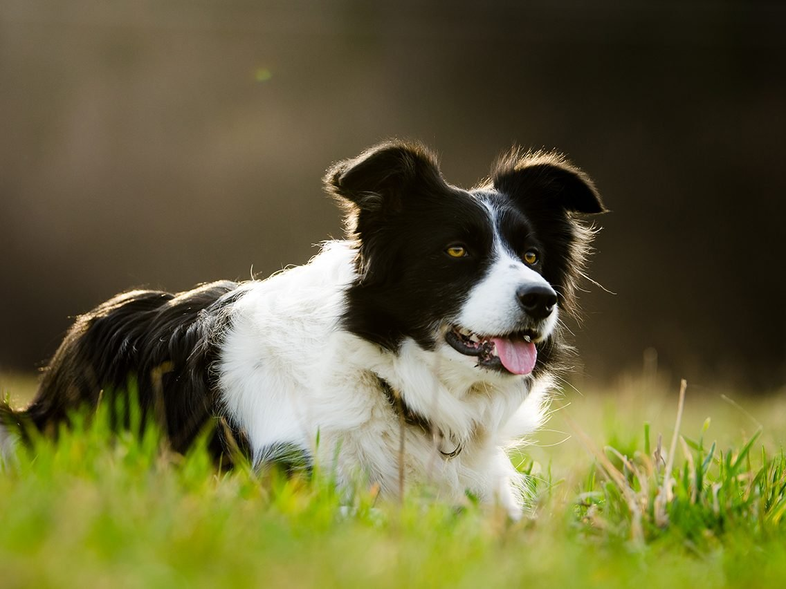 Dog breed based on your zodiac -border collie