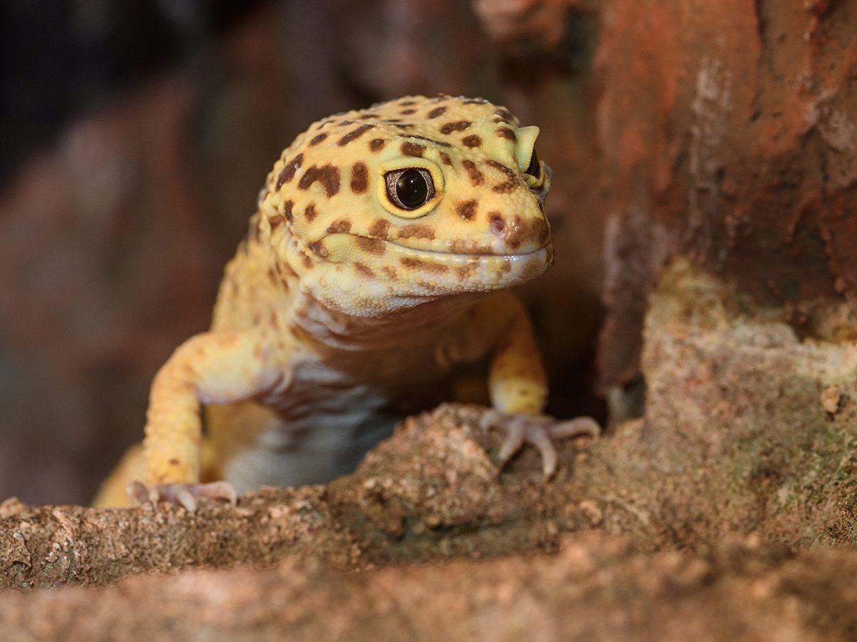 Best pet according to your zodiac - gecko