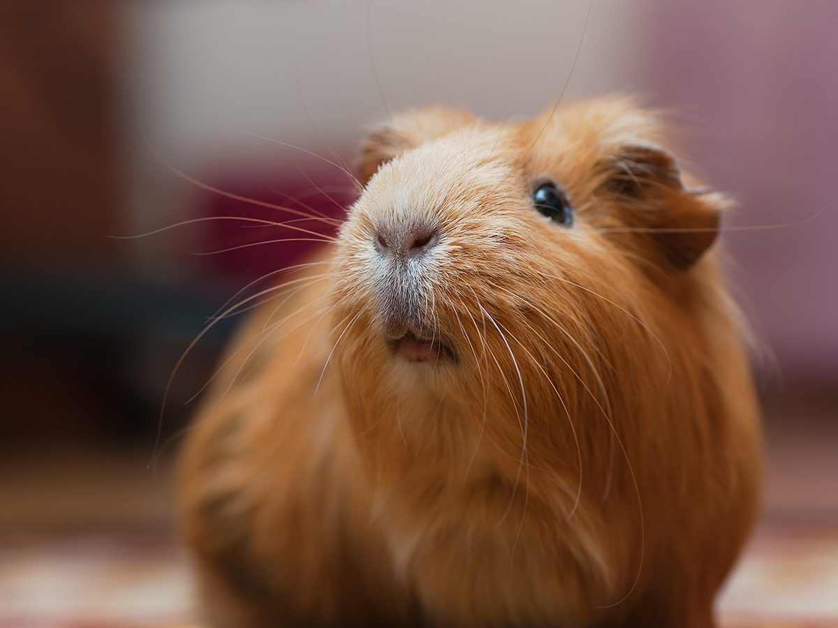 Best pet according to your zodiac - guinea pig