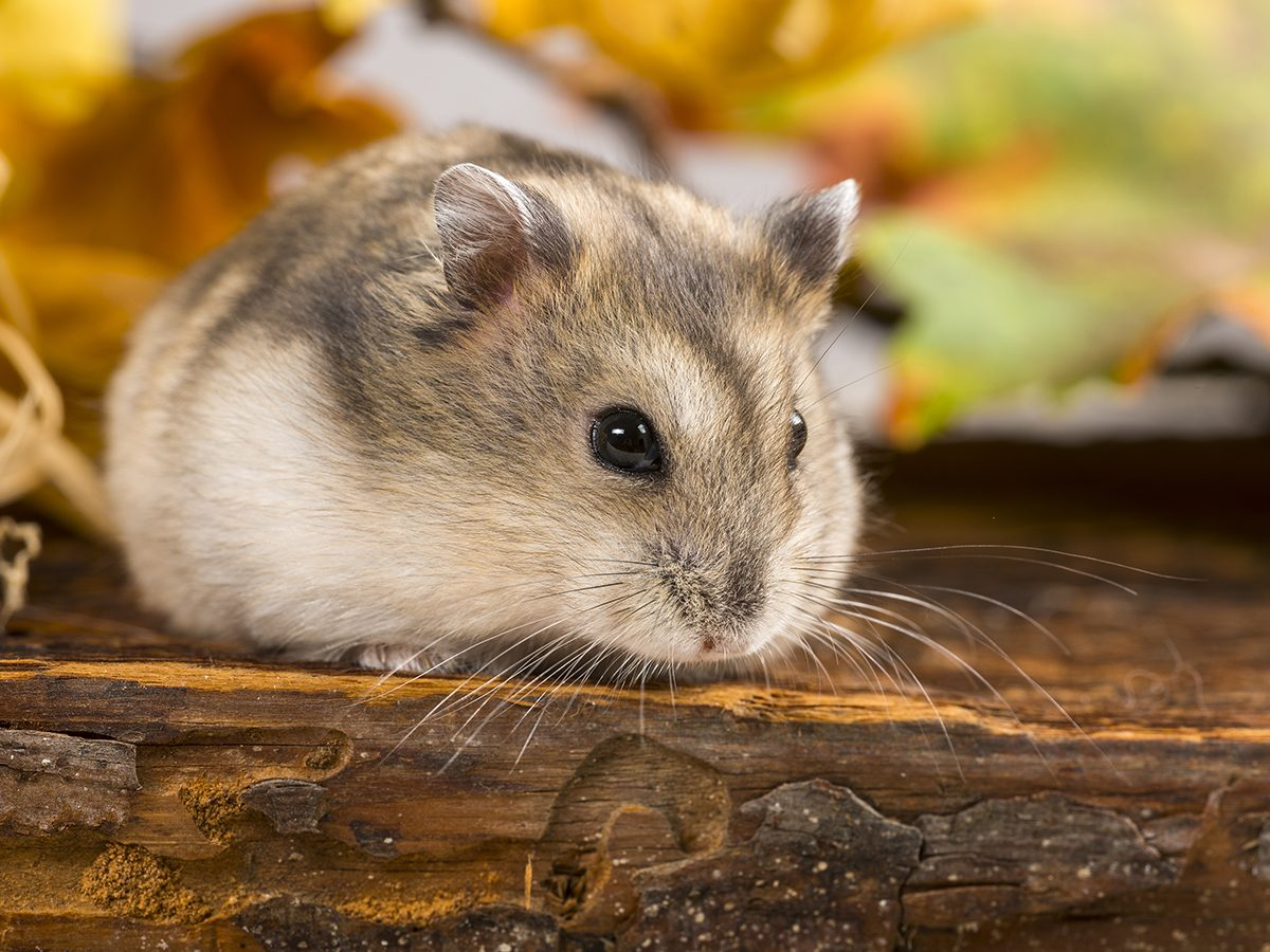 Best pet according to your zodiac - hamster