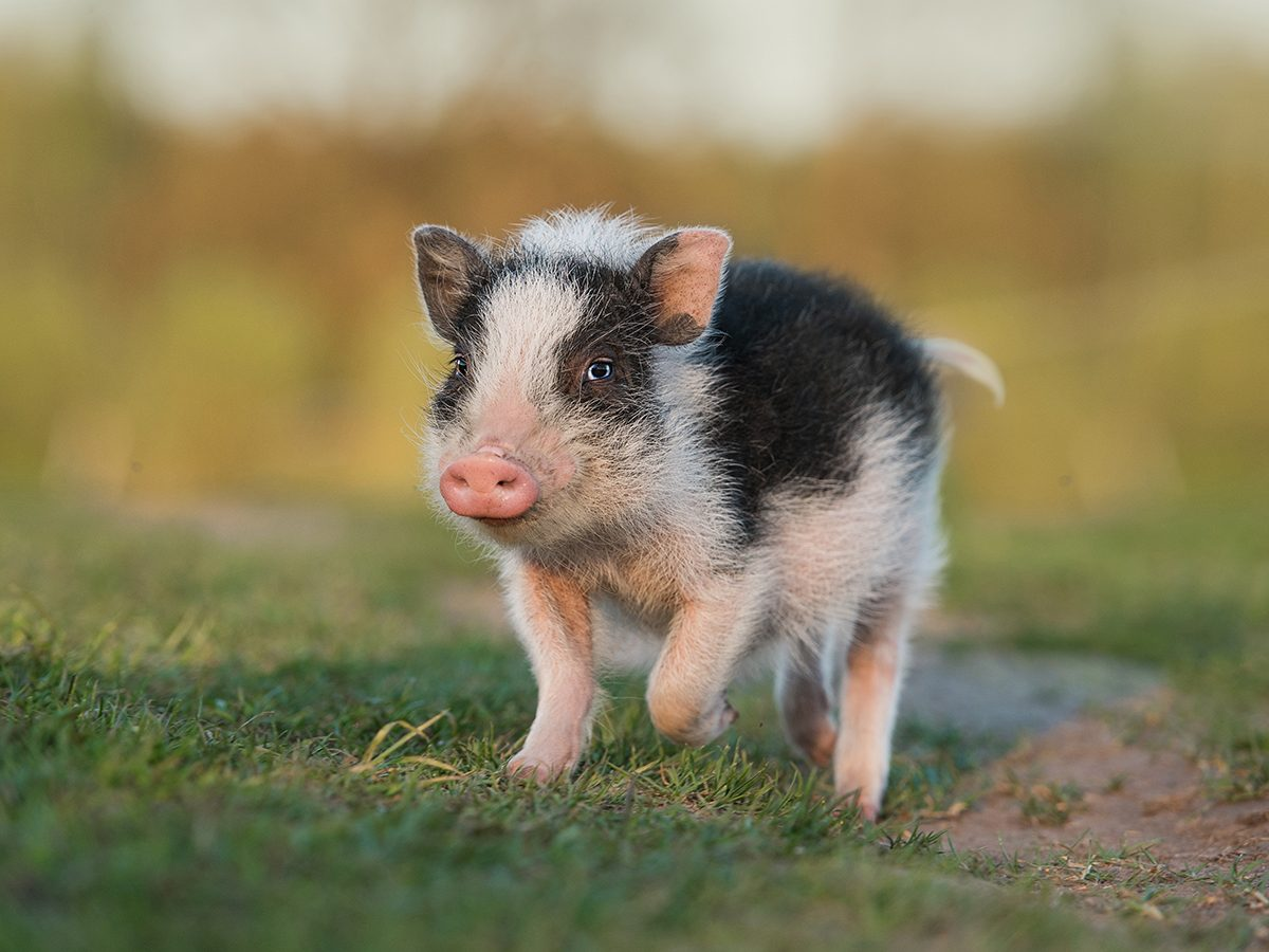 Best pet according to your zodiac - miniature pig
