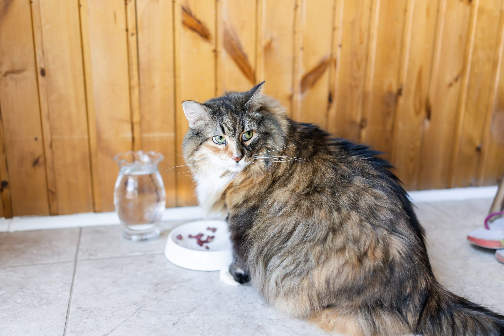 Closeup of calico maine coon cat sitting eating angry large big eyes hungry facial expression funny, sunny day kitchen, water, meat in bowl