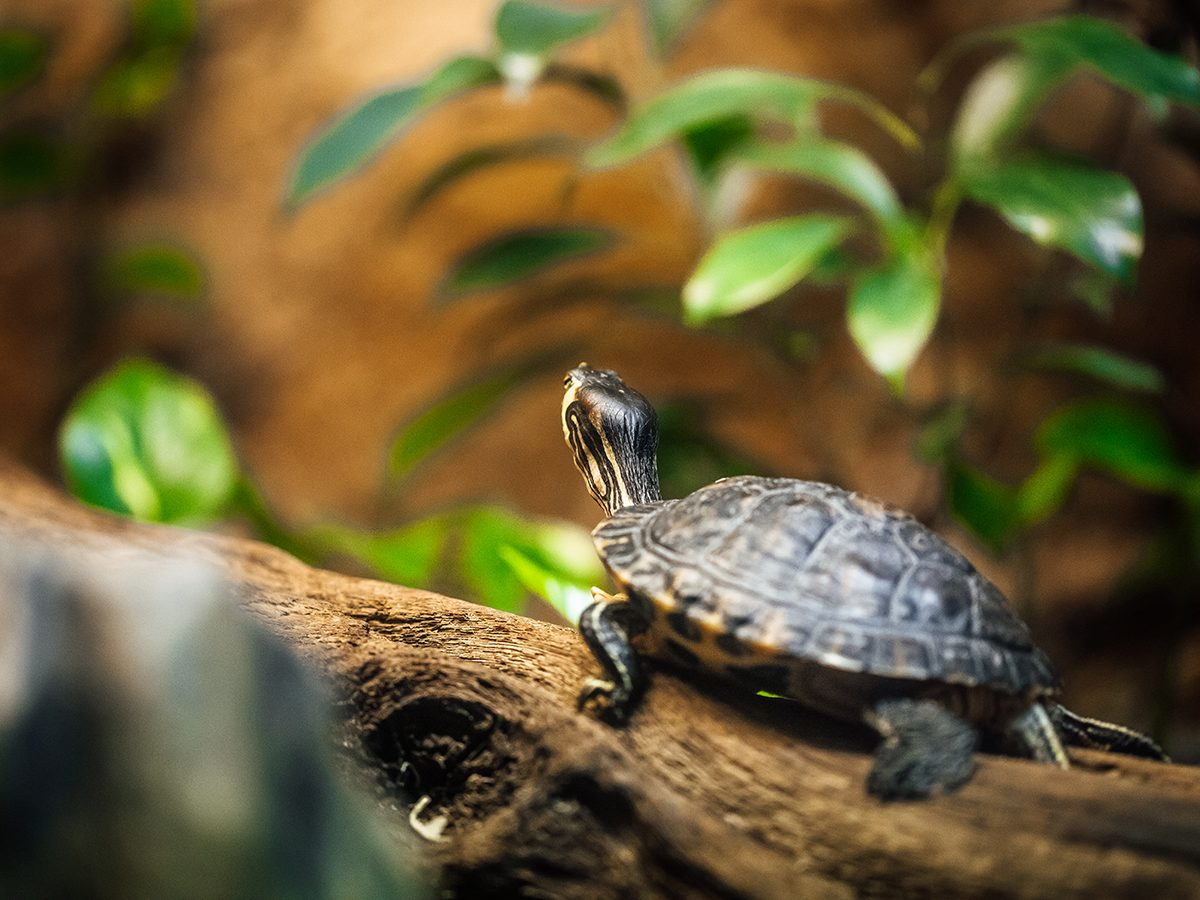 Best house temperature for your pet - Turtle in tank