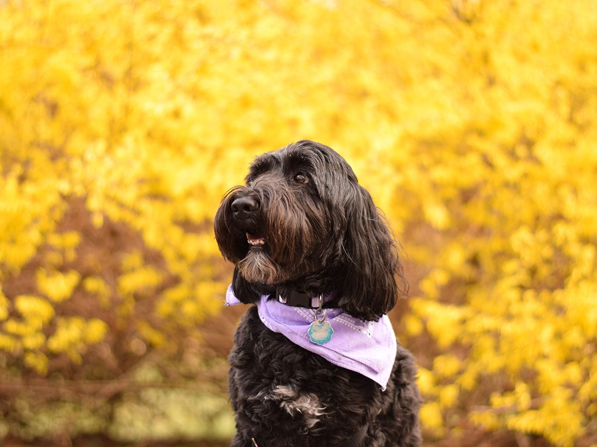 Most popular dog breeds in Canada - Portuguese Water Dog