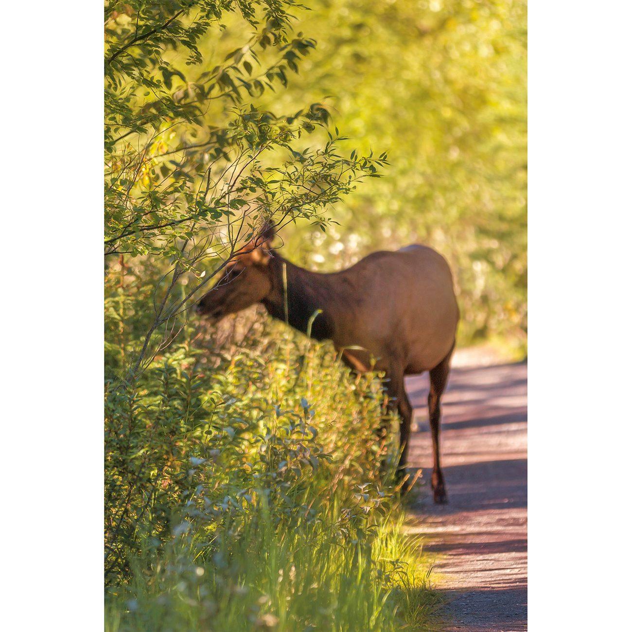 Southern Alberta - deer in Canmore Alberta
