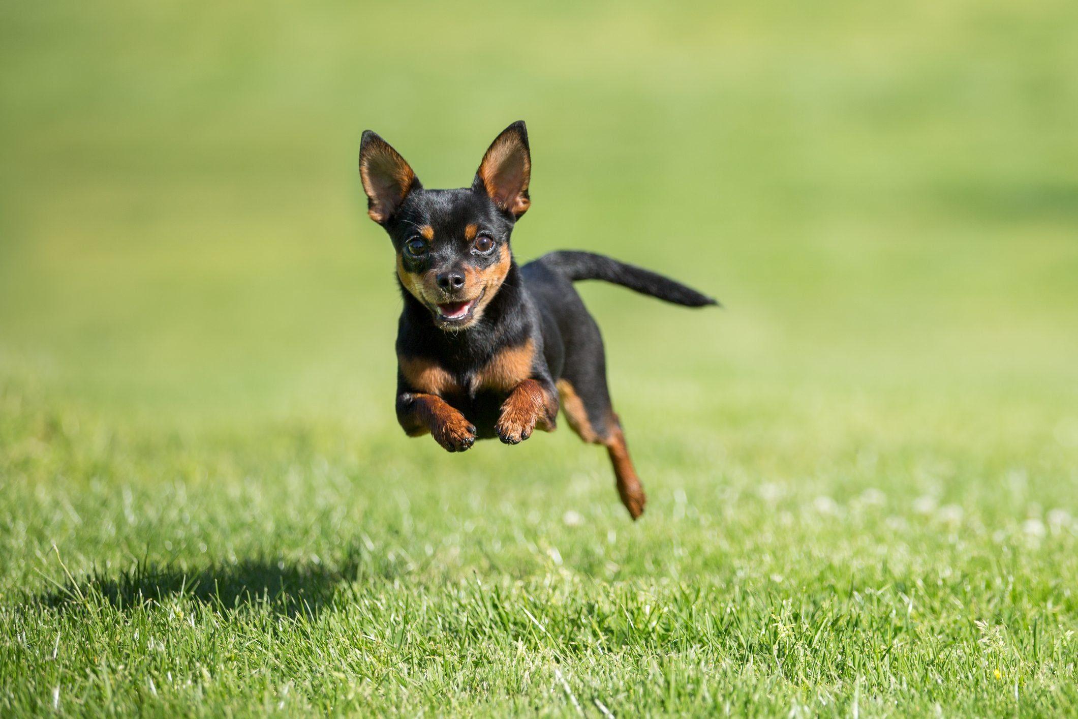 Chihuahua dog running across grass