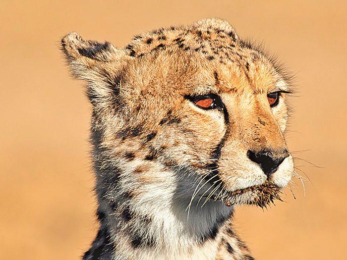 Good News Stories - Cheetah