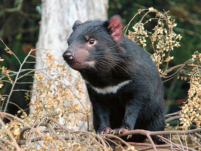 Good News Stories - Tasmanian Devil